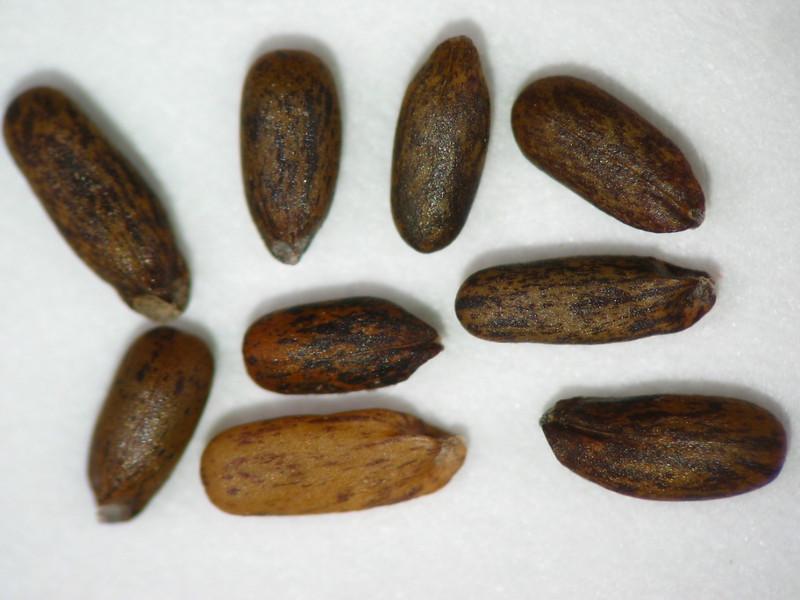 Monardella odoratissima (MOOD)