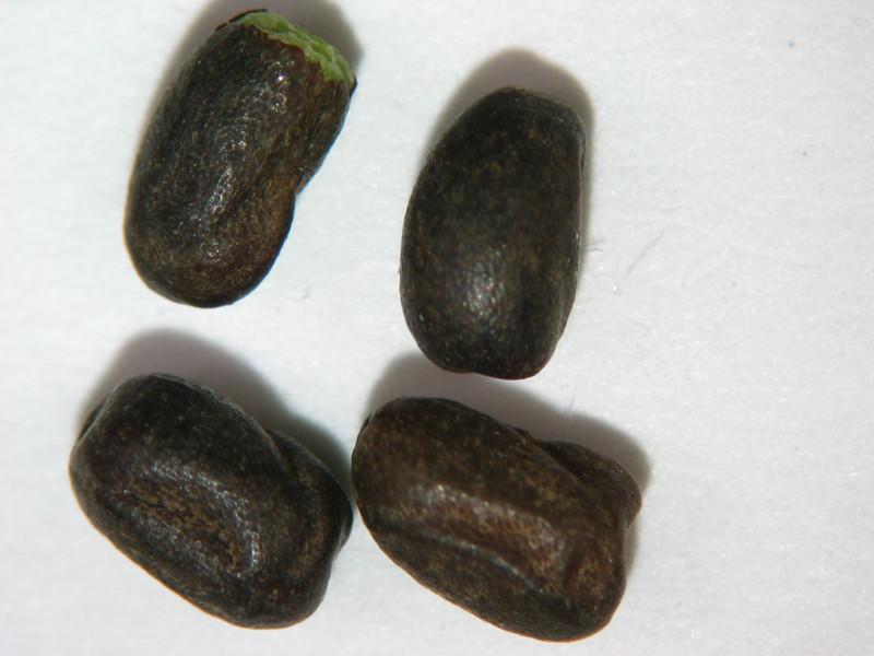Geranium viscosissimum (GEVI2)