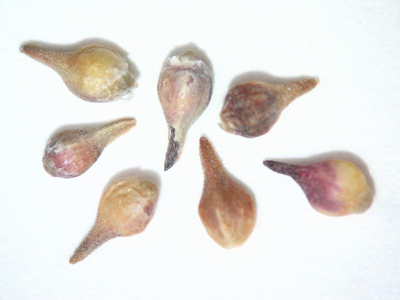 Eriogonum microthecum var. ambiguum (ERMIA2)