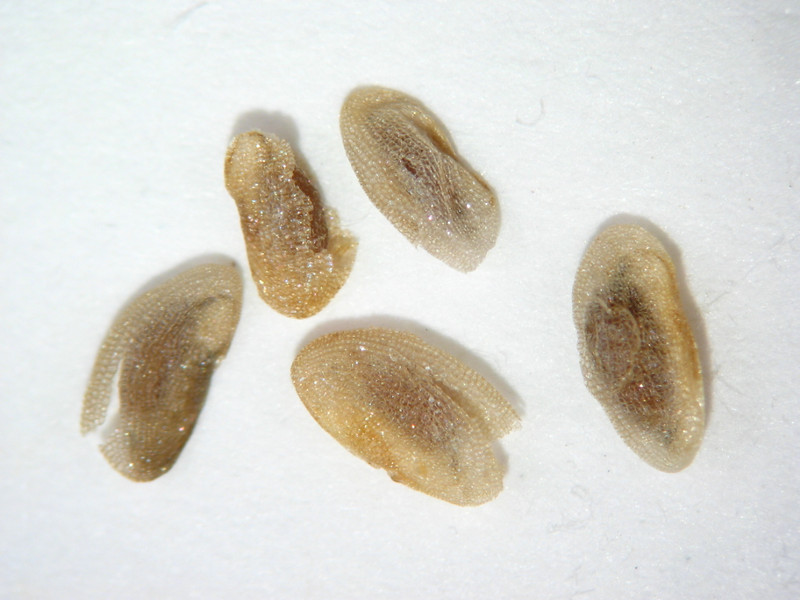 Pedicularis groenlandica (PEGR2)
