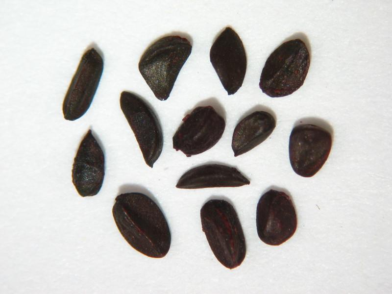 Ribes lacustre (RILA)