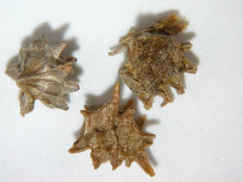 Ambrosia deltoidea (AMDE4)