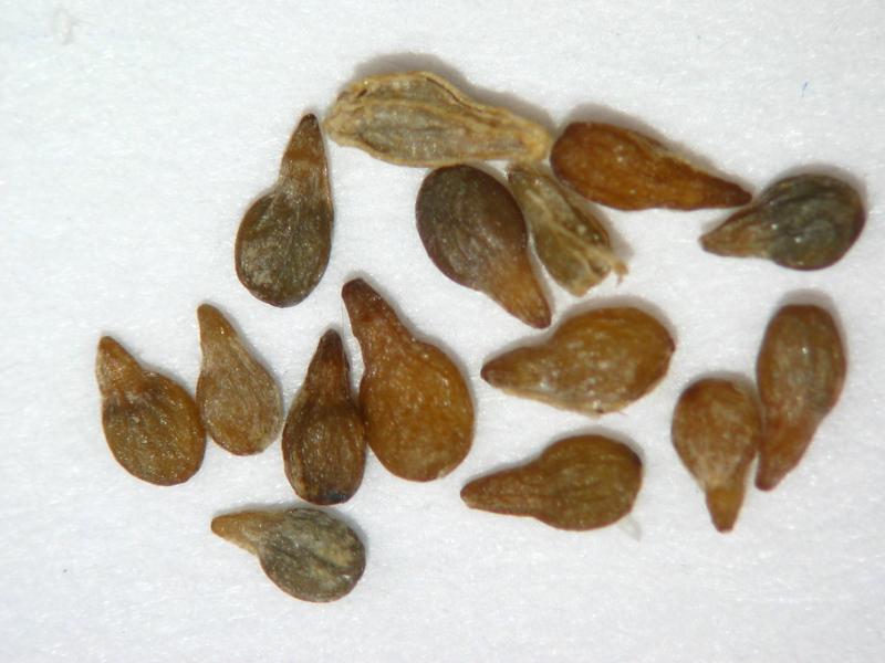 Artemisia tridentata ssp. wyomingensis (ARTRW8)