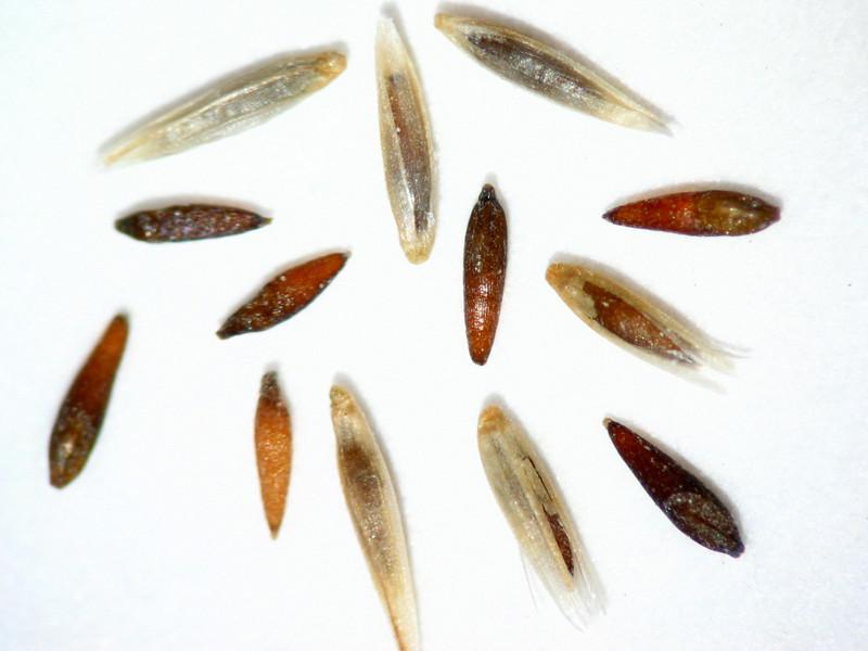 Muhlenbergia emersleyi (MUEM)