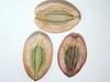 Lomatium canbyi (LOCA4)
