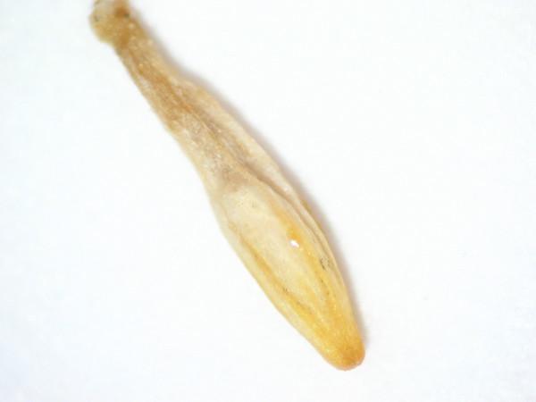 Acamptopappus sphaerocephalus (ACSP)