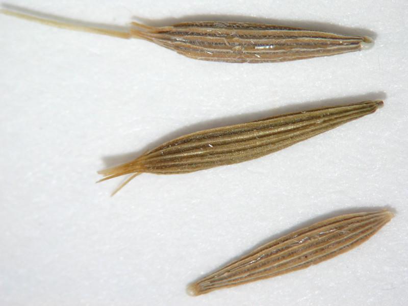Agoseris heterophylla (AGHE2)