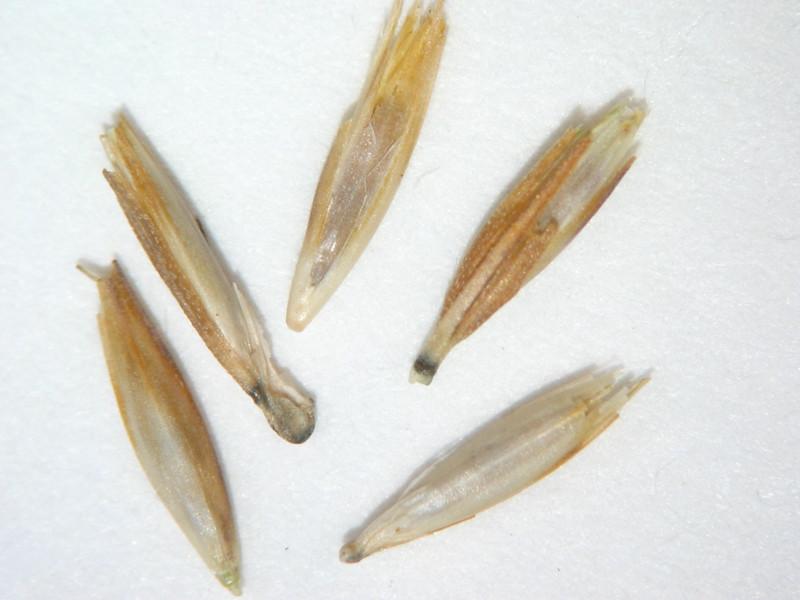Bouteloua curtipendula (BOCU)