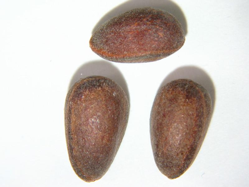 Pinus albicaulis (PIAL)
