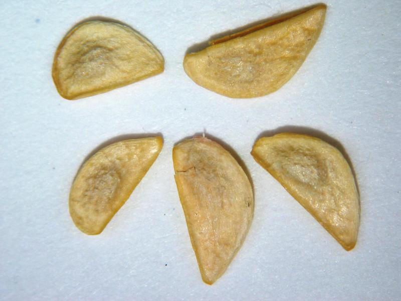 Lepidium fremontii (LEFR2)