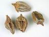 Cryptantha humilis (CRHU2)