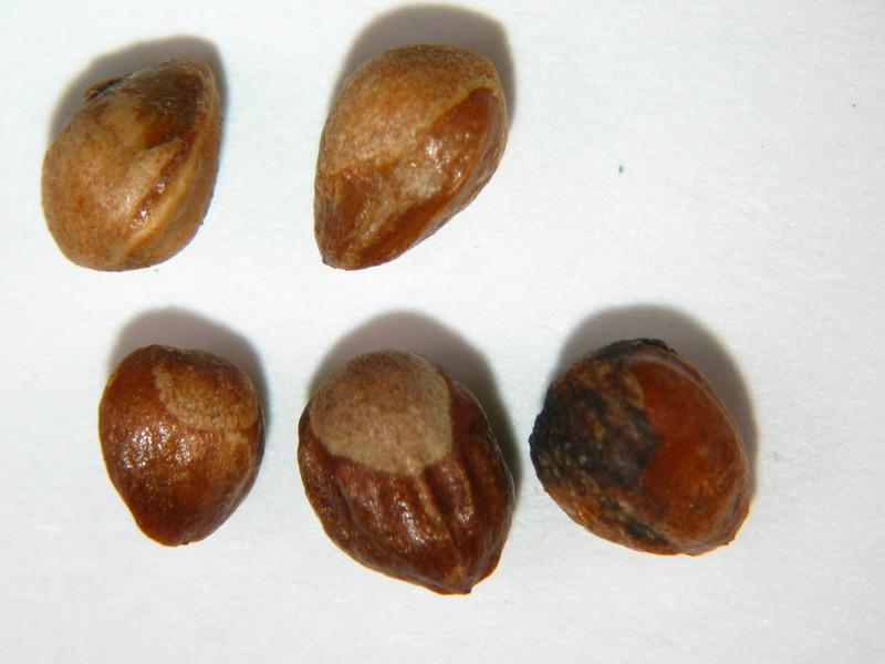 Juniperus coahuilensis (JUCO11)