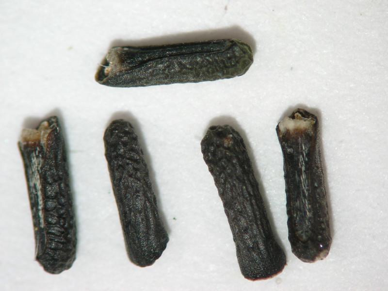 Glandularia gooddingii (GLGO)