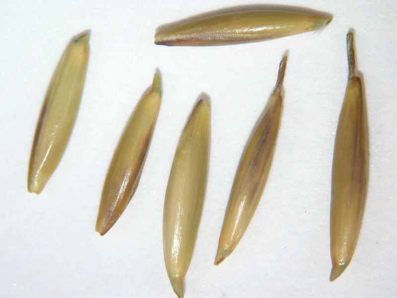 Achnatherum lemmonii var. lemmonii (ACLEL)