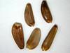 Cirsium subniveum (CISU)