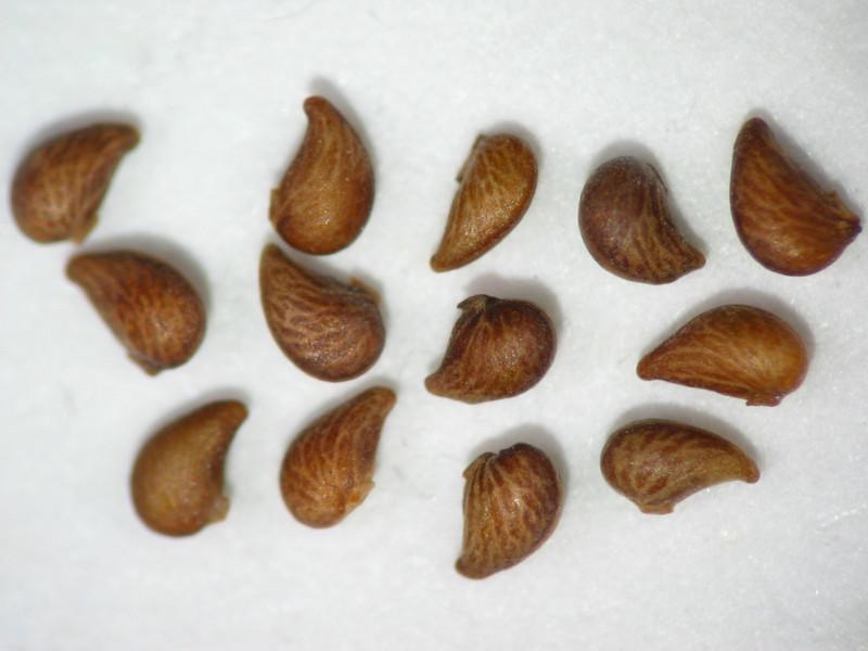 Potentilla biennis (POBI7)