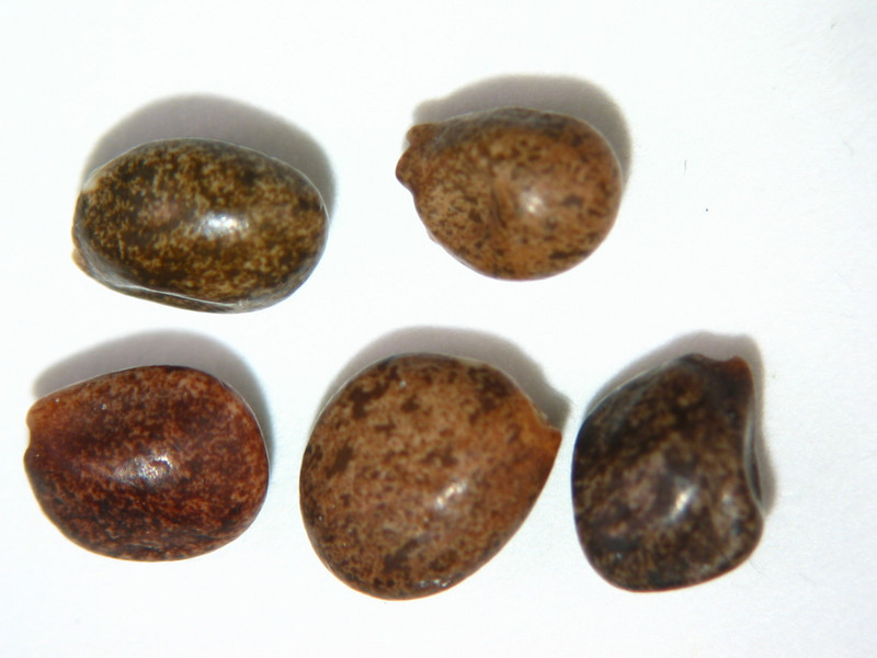 Lupinus latifolius (LULA4)
