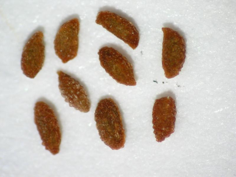 Tellima grandiflora (TEGR2)