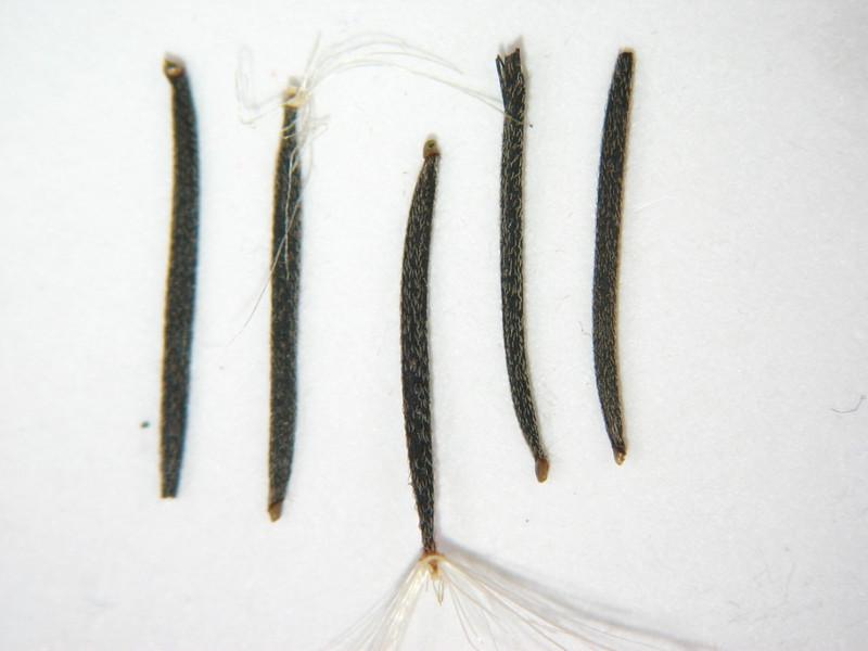 Porophyllum gracile (POGR5)