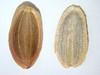 Lomatium dissectum (LODI)