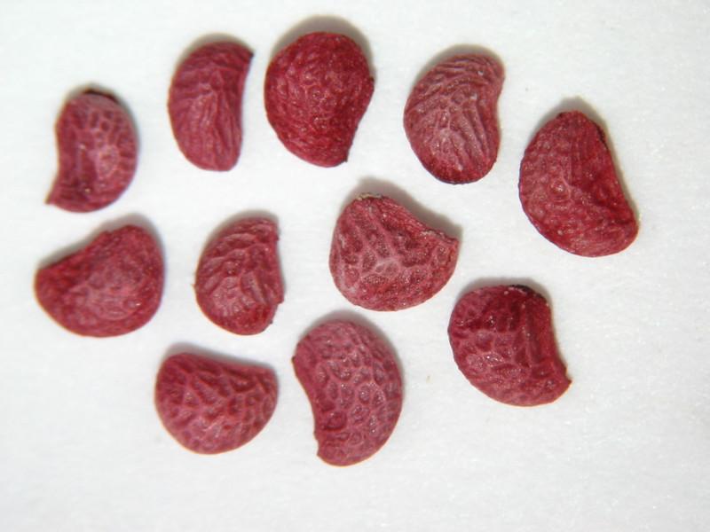 Rubus ursinus (RUUR)