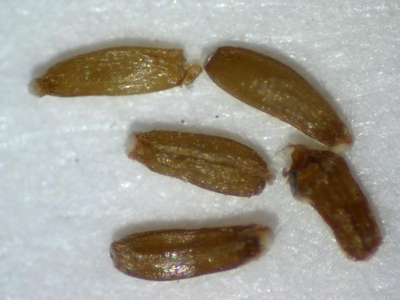 Antennaria microphylla (ANMI3)