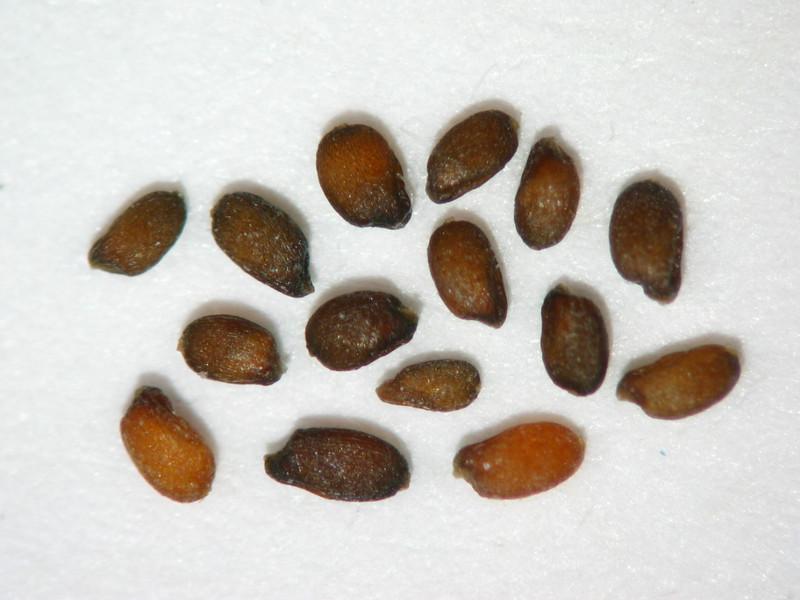 Sporobolus airoides (SPAI)