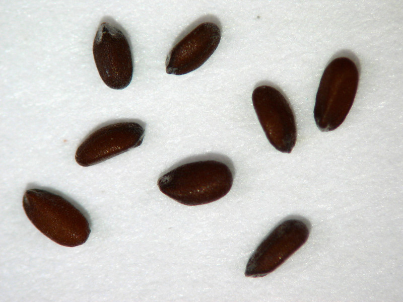 Hedeoma nana (HENA)