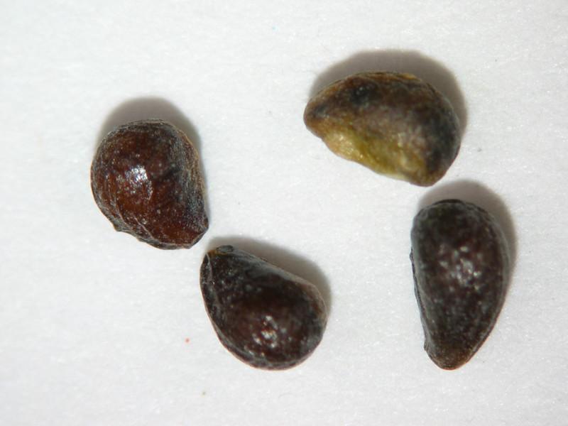 Horkelia daucifolia (HODA)