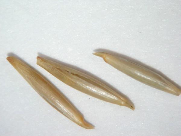 Achnatherum thurberianum (ACTH7)