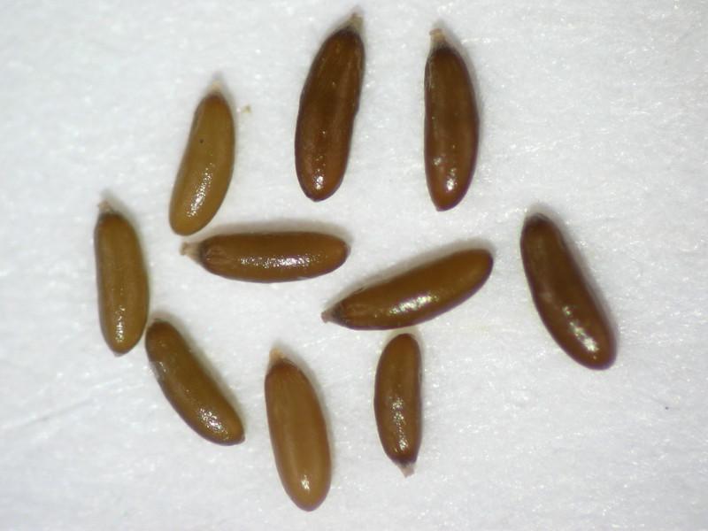 Psilocarphus elatior (PSEL)
