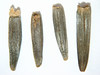 Wyethia amplexicaulis (WYAM)