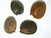 Lupinus subvexus var. subvexus (LUSUS)