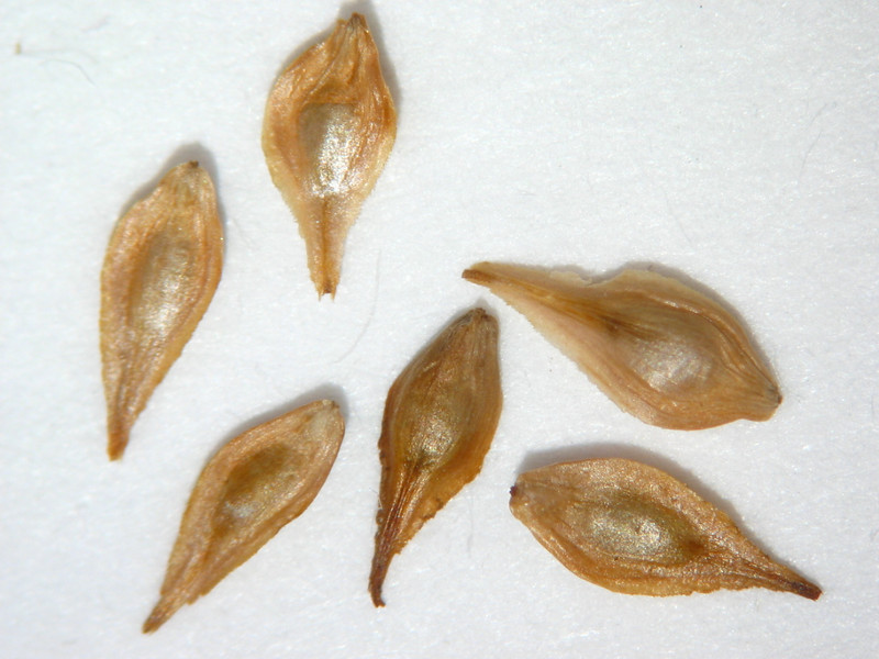 Carex unilateralis (CAUN3)