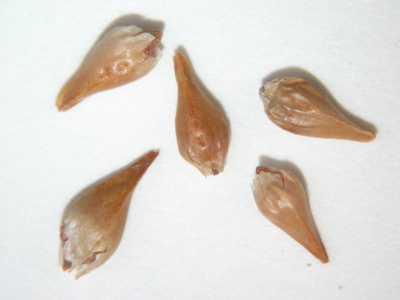 Eriogonum heracleoides (ERHE2)