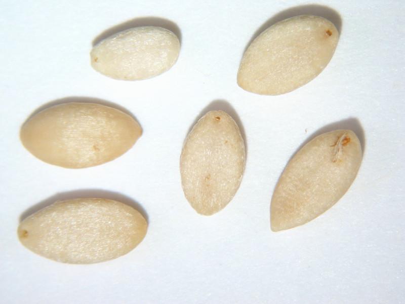 Symphoricarpos albus (SYAL)