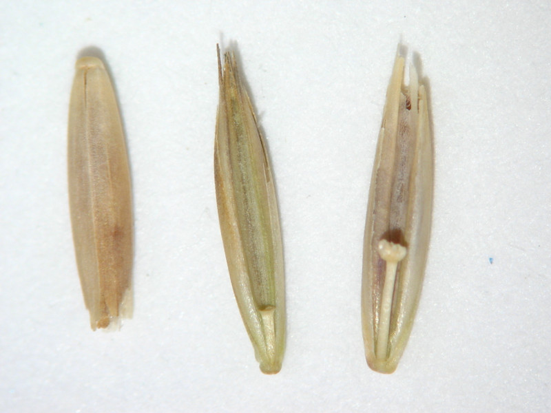 Festuca idahoensis ssp. roemeri (FEIDR2)