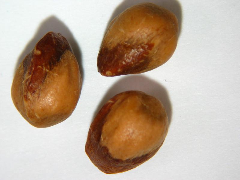 Juniperus osteosperma (JUOS)