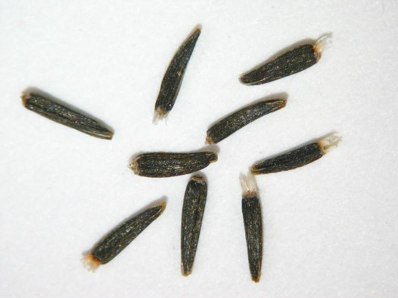 Ericameria bloomeri (ERBL2)