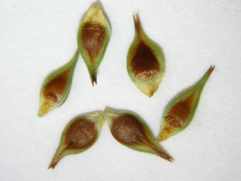 Carex hoodii (CAHO5)