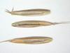 Festuca idahoensis (FEID)