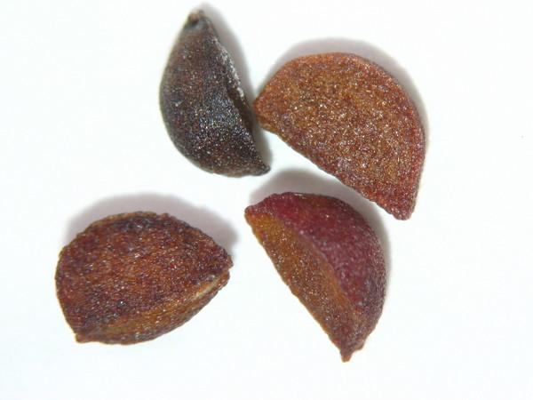 Actaea rubra (ACRU2)