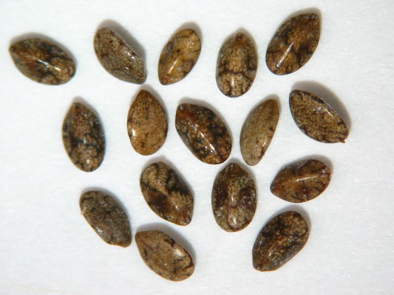 Salvia columbariae (SACO6)