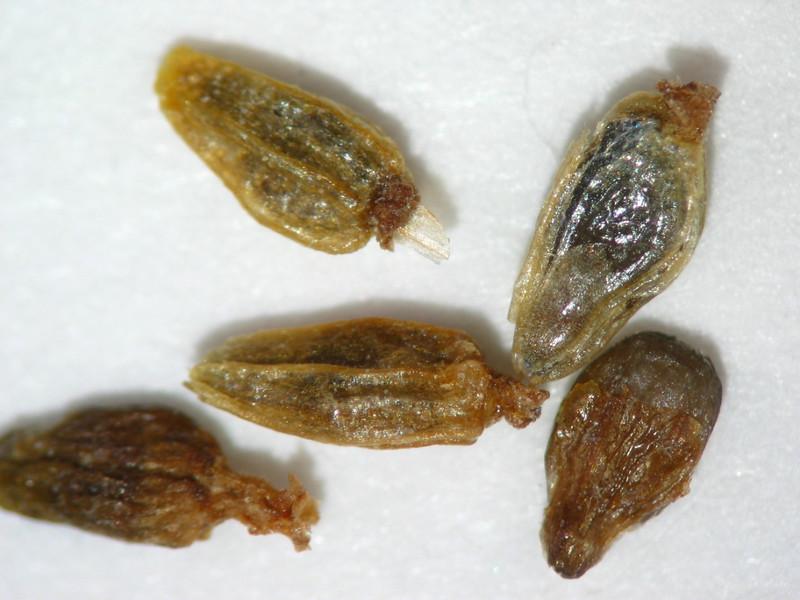 Artemisia bigelovii (ARBI3)