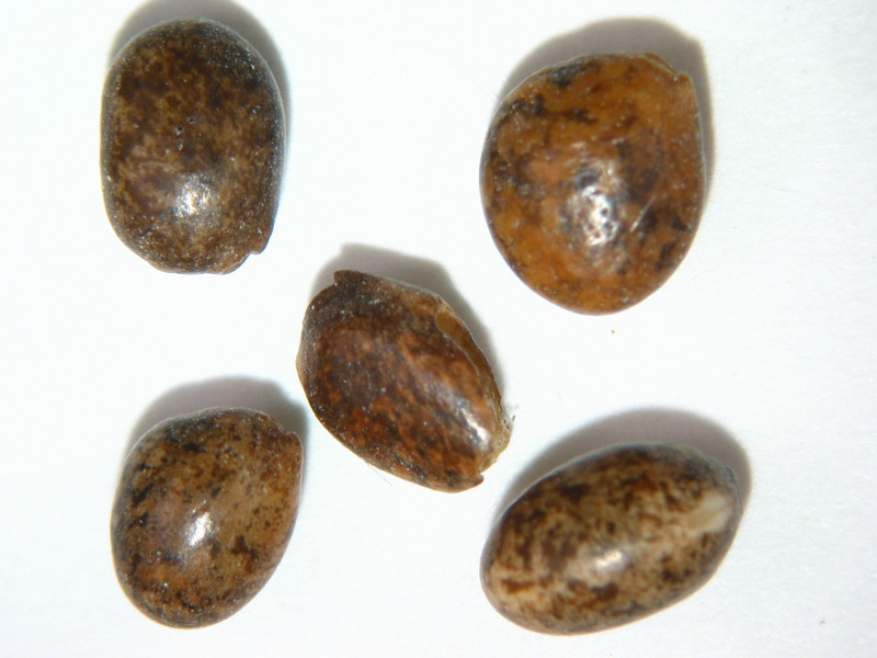 Lupinus polyphyllus (LUPO2)