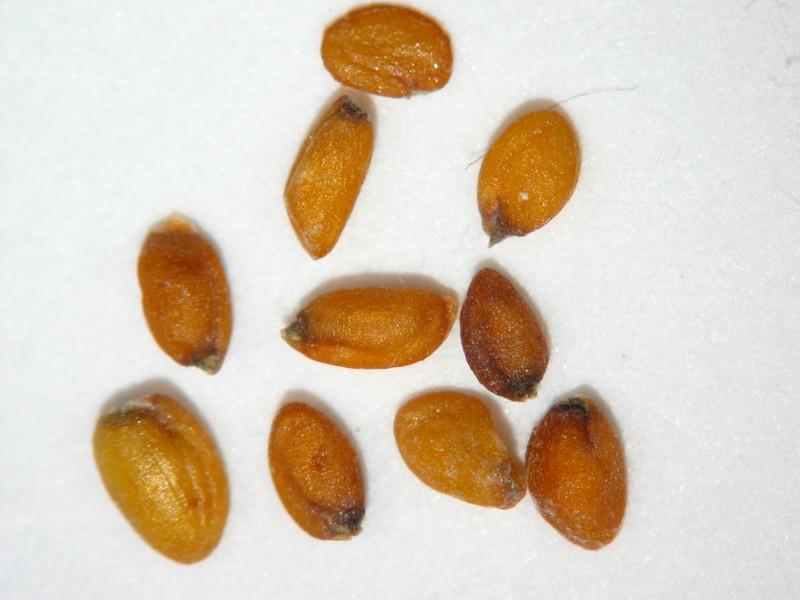 Erysimum asperum (ERAS2)