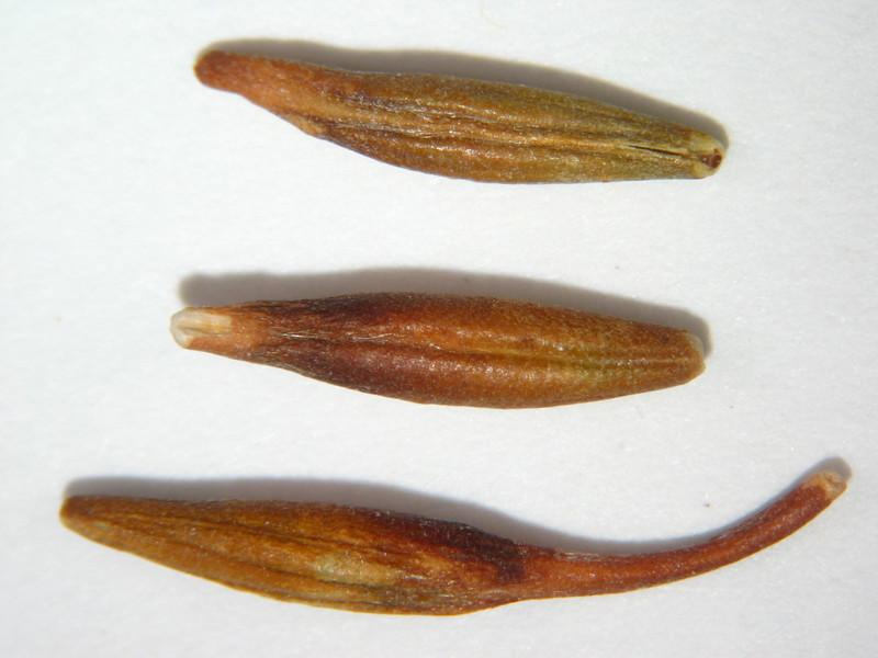 Cercocarpus montanus (CEMO2)