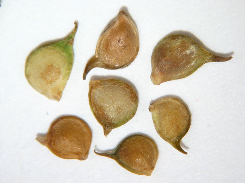 Ranunculus occidentalus (RAOC)