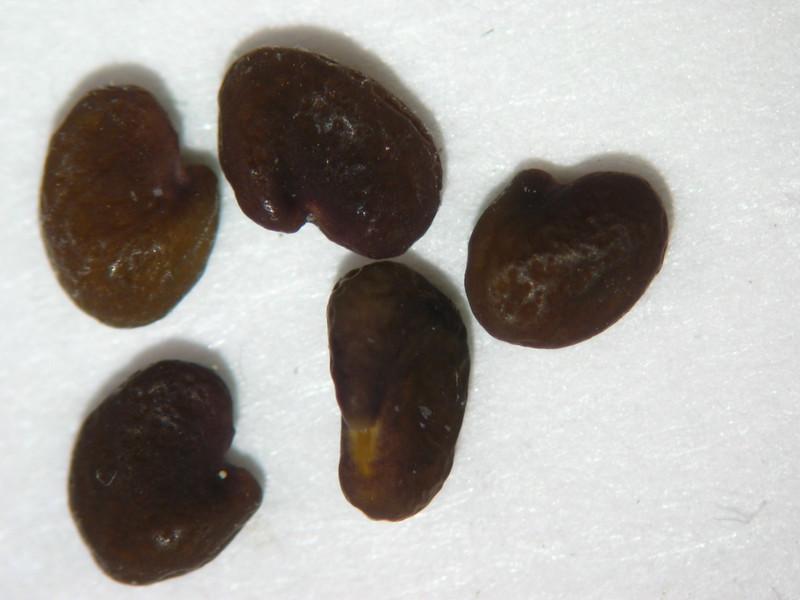 Astragalus purshii (ASPU9)