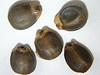 Frangula californica ssp. californica (FRCAC5)
